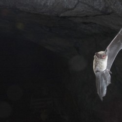 Little brown bat flying in a cave