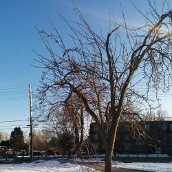 Teresa Rutten and Robin Harvey want more fruit trees, like this pear tree near Western University, growing in London.